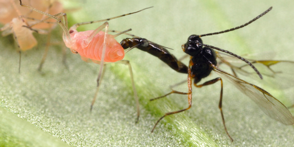 A parasitic wasp injecting eggs into a host insect - 8 Most Alien-Like Creatures On Earth.