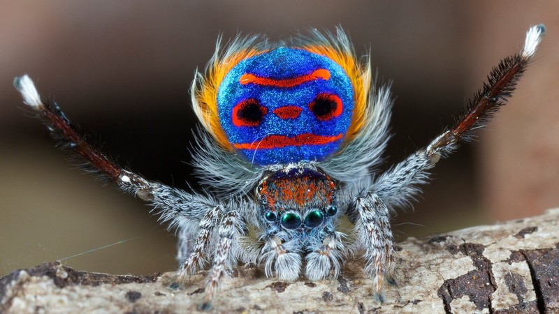 A peacock spider showing its brightly coloured abdomen - World's Cutest And Most Colourful Insects.