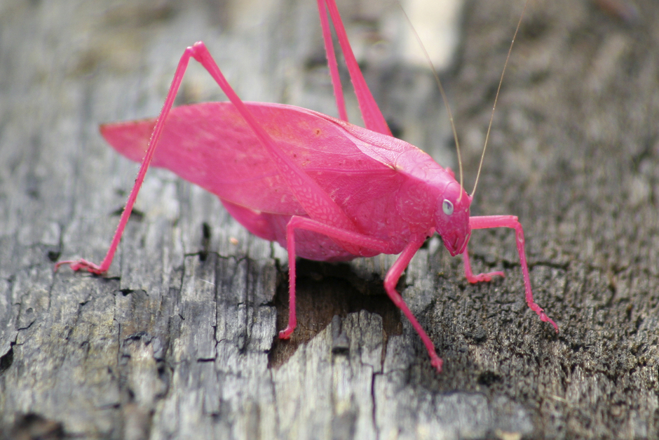 Pink katydid on a tree - World's Cutest And Most Colourful Insects.