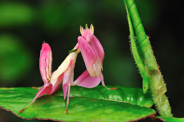 Pink orchid mantis on a leaf - World's Cutest And Most Colourful Insects.