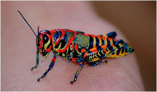 A brightly coloured rainbow grasshopper on a human hand - World's Cutest And Most Colourful Insects.