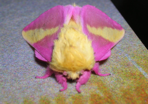 Rosy maple moth - World's Cutest And Most Colourful Insects.