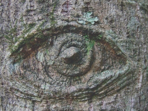 A close up of an eye shaped marking on a tree - The Trees Have Eyes