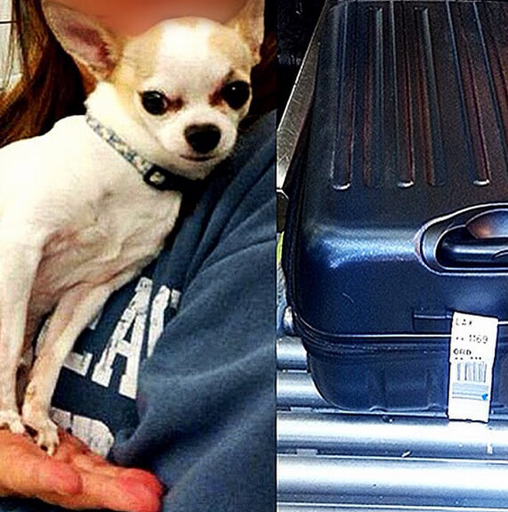 A stow-away chihuahua was found in a passenger's luggage at New York's LaGuardia Airport - 10 Strangest Things Found By Airport Security