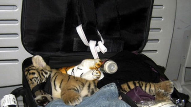 A tiger cub was discovered in a passenger's luggage at Bangkok's Suvarnabhumi Airport - 10 Strangest Things Found By Airport Security