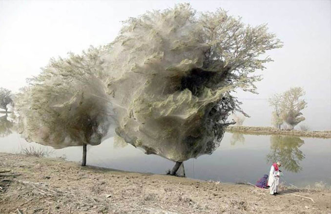 A Photo Of Trees Full Of Spider Webs In Sindh, Pakistan - 10 Eerie Photos That Will Send Shivers Down Your Spine