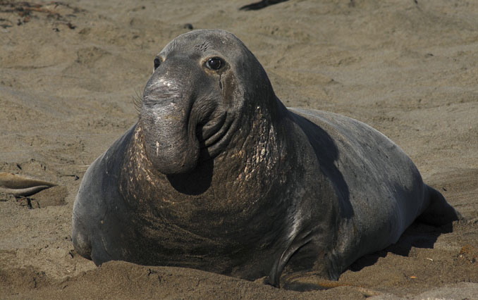 Elephant seal - 10 funniest looking animals on Earth