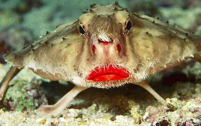 Red lipped batfish - 10 funniest looking animals on Earth