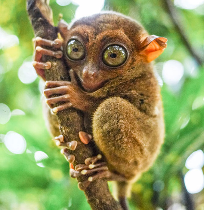 Tarsier - 10 funniest looking animals on Earth