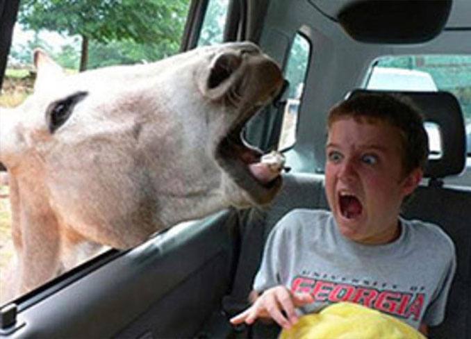 A photo of a donkey with it's head in a car window scaring a boy - 10 Animal Photos Taken At Just The Right Time