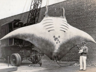 Giant-Manta-Ray-Model