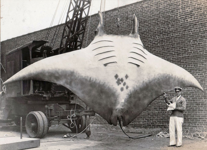 A photo of a giant manta ray - 10 Rare Photos From History