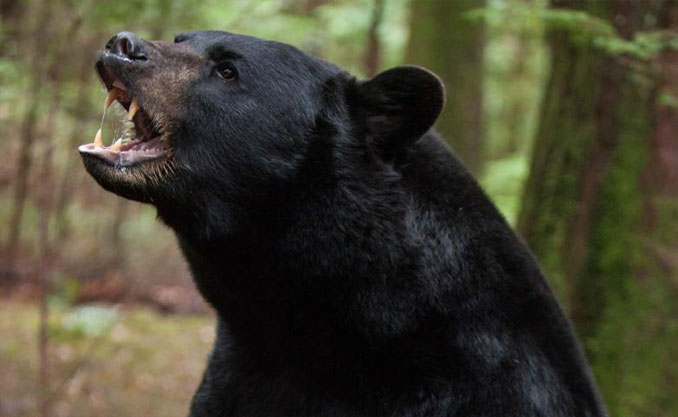 Pet black bear - 10 Pets That Killed Their Owners