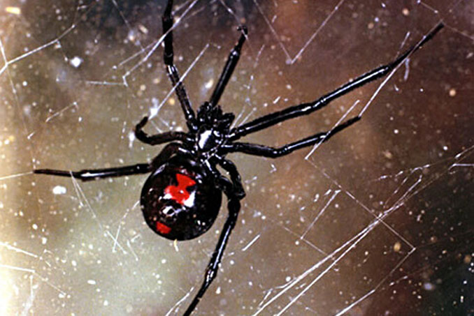 Bettina the pet black widow spider - 10 Pets That Killed Their Owners