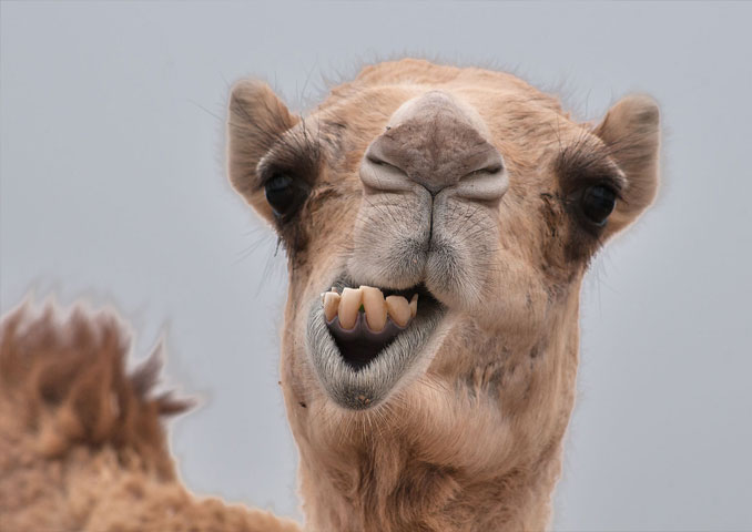 Pet Camel - 10 Pets That Killed Their Owners