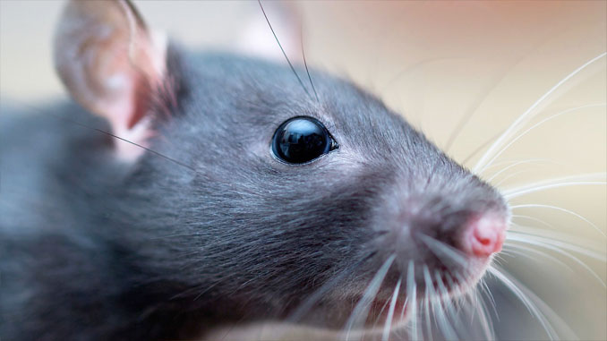 Alex the pet rat - 10 Pets That Killed Their Owners