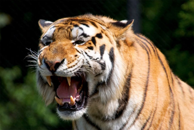 Pet Bengal tiger - 10 Pets That Killed Their Owners