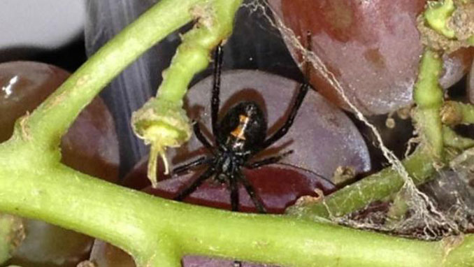Black widow spider in a bag of grapes - Most Disgusting Things Ever Found In Food