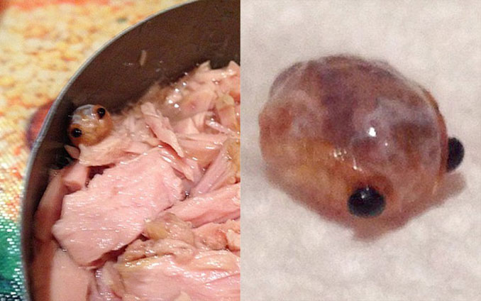 Tongue eating louse found in a can of tuna - Most Disgusting Things Ever Found In Food