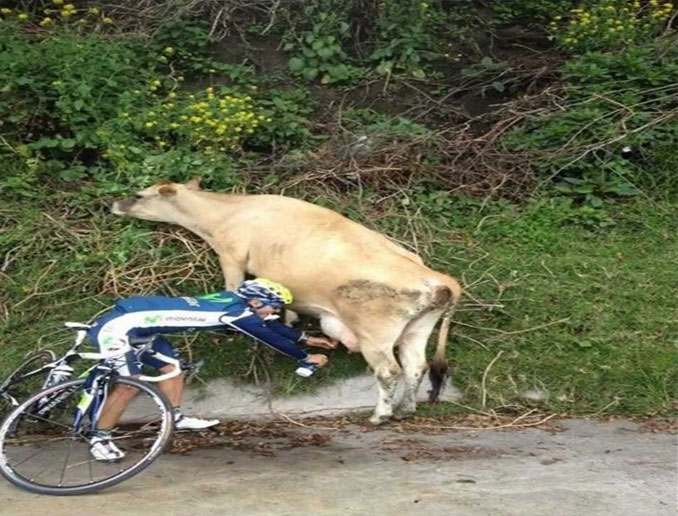 A man on a bike milking a cow - 20 Funny Animal Photos You Have To See