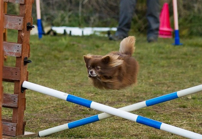 A dog jumping a hurdle that looks like it has no legs - 20 Funny Animal Photos You Have To See