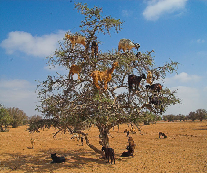 Goats climbing in a tree.