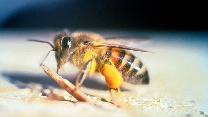 This Africanised Honey Bee shows horrific insect behaviour