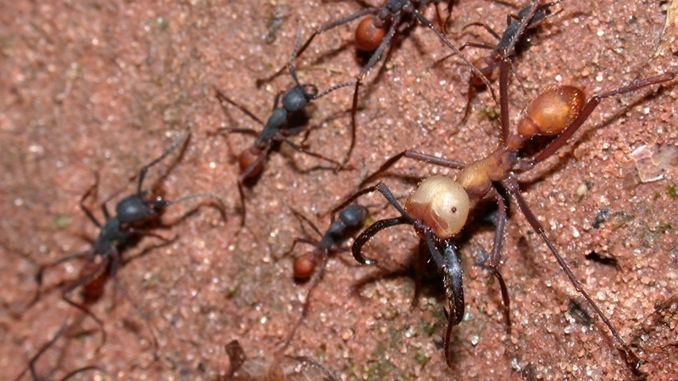 Army ants show horrific insect behaviour