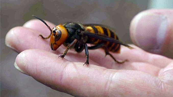 The Japanese Giant Hornet shows horrific insect behaviour