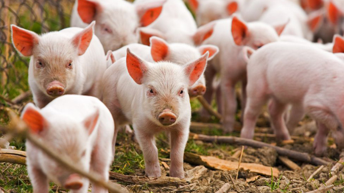 A huge amount of stolen pigs is amongst the strangest things ever stolen.