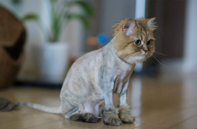Shaved cat - 10 Dumbest Criminals Of All Time