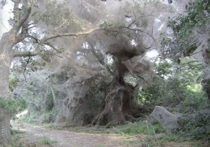 Very large spider's webs in the trees in Dallas, Texas - 10 Strangest Things Ever Found in the Woods