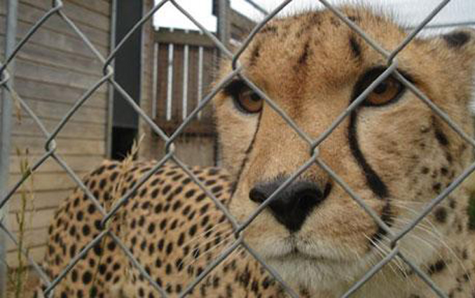 A cheetah was found in a backyard in the UK making it one of the strangest things found in backyards